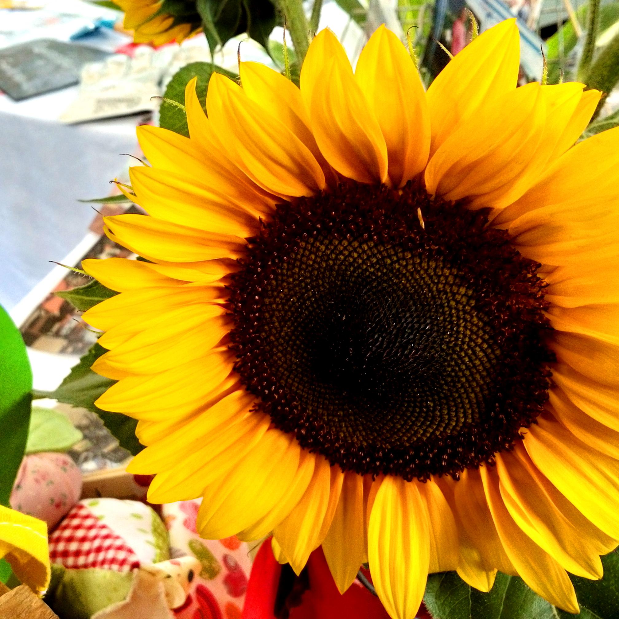 Vereinstag_Sonnenblume_25.08.19